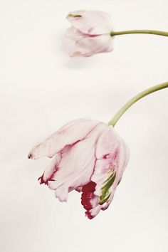 RUFFLED TULIP I by LoveMissB, via Flickr