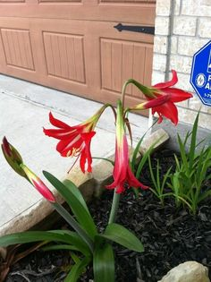 Amaryllis... like the ones my Grandmother used to grow in her yard...