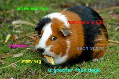 Guinea Pige Doge Know Your Meme