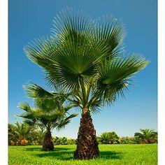 Cotton Palm (Washingtonia Robusta)