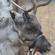 Best Christmas Events in London - London Zoo - Reindeer Lodge  Santa and his reindeer will be available every weekend from 17 November - 24 December 2013. The grotto will be open from 10.30am-3.30pm. How much? Once you've purchased a zoo admission ticket, Reindeer Lodge tickets cost £5 with OAPs and under-2s going free.