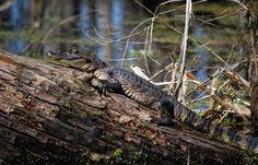 Alligator are the kings of the Louisiana swamps! Walk the St. Martin parish preserve trails to see alligators in their habitat. #louisiana #nature #alligators