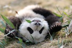 And this is why I love panda bears.