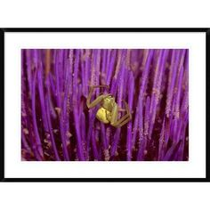 """Global Gallery 'Goldenrod Crab Spider Female on Flower' Framed Photographic Print Size: 26"""" H x 36"""" W x 1.5"""" D"""