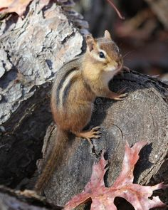 Photo about An eastern chipmunk on a log. Image of eastern, striped, closeup - 17520285 Cute Squirrel, Squirrels, Eastern Chipmunk, Animals And Pets, Cute Animals, Little Critter, Chipmunks, Wildlife Photography, Spirit Animal