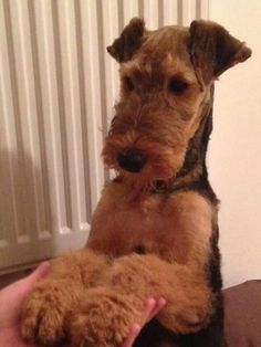 Airedales are so engaging! Airedale Terrier, Irish Terrier, Fox Terriers, Terrier Dogs, Large Dog Breeds, Dogs And Puppies, Doggies, Beautiful Dogs, Pet Birds