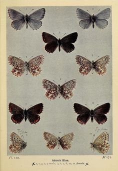 Adonis Blue. The butterflies of the British isles, 1906.
