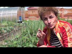 """Как размножать клубнику садовую землянику. Сайт """"Садовый мир"""" - YouTube"""