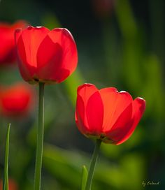 Tulips by Erlend  on 500px