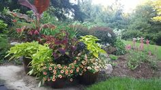 Planters and butterfly garden.  Banana plant, tassel fuchsia, gold million bells, potato vine and coleus.  Yellow House Landscape Design.