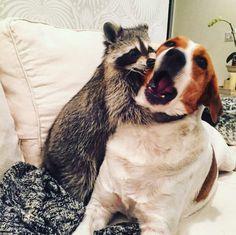 chien raton laveur pumpink the racoon
