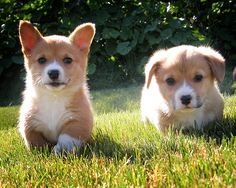 corgi puppies frolicking in sunlit field.  yes.