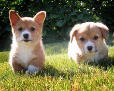 What's cuter than a corgi puppy? TWO corgi puppies! Pembroke Welsh Corgi Puppies, Corgi Dog, Beagle, Dog Cat, Baby Corgi, Mini Corgi, Cute Corgi, Cute Puppies, Dogs And Puppies