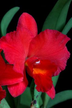 This is one of the few hybrids I grow and one of the few Cattleyas I grow. It's a hybrid of Laeliocattleya Culminant and the tiny red spe. Red Orchids, Red Flowers, Baroque Design, Orchid Plants, Flower Aesthetic, Circle Of Life, Neoclassical Architecture, Lily, Gardens