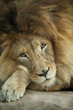 Cecil the Lion. You know you're an animal lover when the death of an animal hurts just as much as the death of a human. Beautiful Cats, Animals Beautiful, Beautiful Soul, Big Cats, Cats And Kittens, Animals And Pets, Cute Animals, Gato Grande, Lion Love
