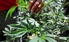 It's complicated: Marijuana growers, processors in Oregon face location woes #StonedInsider