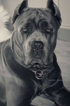 From ' The Cane Corso Club of America ' Cane Corso Italian Mastiff, Cane Corso Mastiff, Cane Corso Dog, Cane Corso Puppies, Chien Cane Corso, Scary Dogs, Huge Dogs, Large Dog Breeds, Beautiful Dogs
