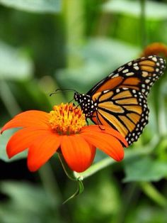 Orange,black and White Butterfly