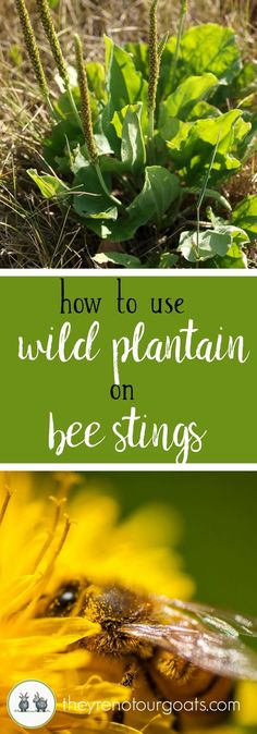 Use this common weed to help alleviate pain and mild reactions from a sting this season.