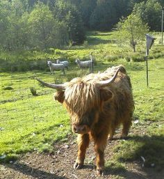 Miniature Breeds Of Cattle That Are Perfect For Small Farms Miniature Highland Cattle, Scottish Highland Cow, Minature Cows, Mini Cows, Organic Beef, Animal Crackers, Down On The Farm, Hobby Farms, Small Farm