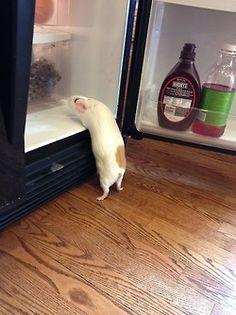 I want dat one mommy... I can't weach it... #GuineaPig...