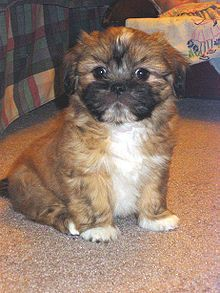 Wiki source for Lhasa Apsos. I've had two and they are great. A slightly bigger breed than the toyish Shiztu.