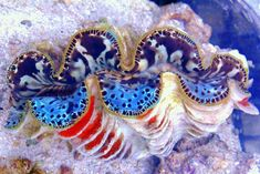 Pacific East Aquaculture imported a gorgeous two face clam, which they are calling the Chimera Maxima Clam. Each half of the mantle is completely different. Life Under The Sea, Under The Ocean, Sea And Ocean, Marine Aquarium, Saltwater Aquarium, Reef Aquarium, Salt Water Fish, Underwater Life, Ocean Creatures