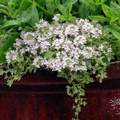 Buy Thymus Highland Cream Perennial Plants Online. Garden Crossings Online Garden Center offers a large selection of Thyme Creeping Plants. Shop our Online Perennial catalog today!