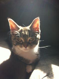 Izzy Aka The Kitten  Cat | Pawshake Winnipeg