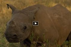 David Attenborough meets a blind baby rhino in Africa.   Author Link:
