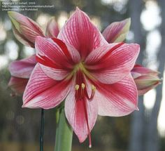 View picture of Amaryllis 'Gervase' (Hippeastrum) at Dave's Garden.  All pictures are contributed by our community.