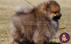 Are Pomeranians smart? how smart are Pomeranians as a dog breed in general compared to other breeds? Pomeranian intelligence level explained. Discover how smart a Pomeranian actually is and find out how to help your Pomeranian learn. #pomeranianhq #pomeranianheadquarters #pomeranianorg Pomeranian Dogs, Pomeranians, Dog Information, Dog Breeds, Training, Tips, Animals, Animales, Animaux