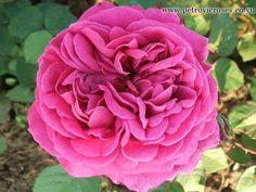 Mme Dubost est une rose de taille moyenne, double, rose moyen, avec une coloration plus foncée au centre. Remonte plusieurs fois dans la saison. Rosier peu documenté. Bourbon. Pernet, 1890.