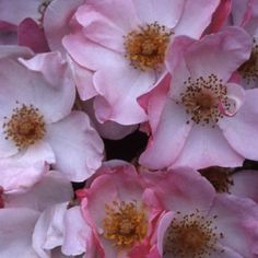 """Rosy Hedge, Clouds of single, rich pink 2 1/2"""" blooms (petals 5), brushed cream in the center. A vigorous, continually blooming bushy plant with dark green foliage. An outstanding landscape plant. Makes a magnificent 60 ft. hedge in our Riverside Garden. Plant 3 ft apart if using for a hedge."""