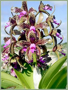 Brazilian Orchids - Orchid News 28