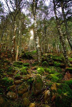 PINSAPOS en la sierra de Estepona   Flickr - Foto Alberto Navarro #Estepona #spain #pinsapo