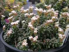 Sedum furfuraceum (Bonsai Sedum) is a low growing, branching succulent up to 4 inches (10 cm) tall and spreading slowly up to 1 foot...
