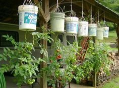 Problems In Growing Tomatoes Upside down gardening is growing plants in pots suspended from the ceiling. This style of gardening started to gain popularity in 1998 when gardener Growing Tomatoes Indoors, Growing Tomato Plants, Growing Tomatoes In Containers, Growing Vegetables, Grow Tomatoes, Bucket Gardening, Balcony Gardening, Indoor Gardening, Organic Gardening