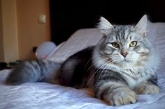 Gizem Noche Blanca of Aurora Glow Siberian Cat, Aurora, Glow, Cats, Animals, Gatos, Animales, Animaux, Northern Lights