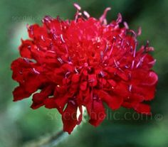 Knautia macedonica has been hugely fashionable for years and is likely to remain so for many more.