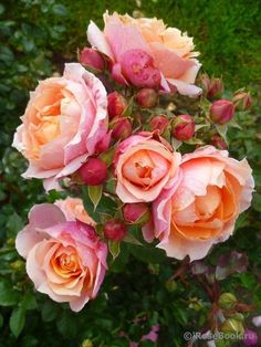 """English Roses Rose """" Paul Bocuse ® """" , (MASpaujeu) , bred by Dominique Massad (France, Flowers Nature, Pretty Flowers, Exotic Flowers, Purple Flowers, Hibiscus Flowers, Beautiful Roses, Beautiful Gardens, Shrub Roses, Coming Up Roses"""