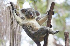 Seriously, though. The koalas need you.   18 Jobs You Can Actually Do In Australia