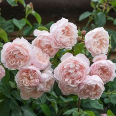 The Generous Gardener - Getopfte Rosen - Rambler 4,5m, öfterblühend