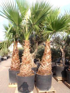 kentia palm and palms on pinterest. Black Bedroom Furniture Sets. Home Design Ideas