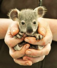 Baby Koala how-cute-is-that