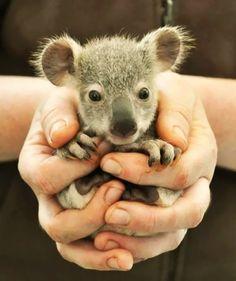 Baby Koala how-cute-is-that
