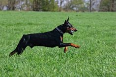 Running doberman pinscher - doberman - male - domestic dog Stock ...