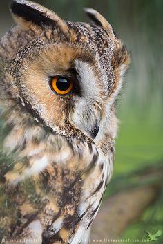 Long-eared Owl by linneaphoto on DeviantArt