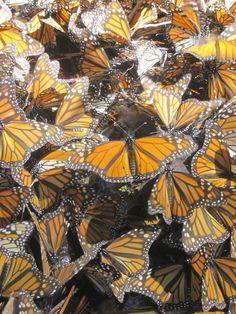 Monarch Migration, Michoacan