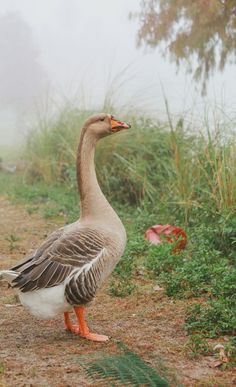This goose makes me think of the demonic one that lives at the pond.